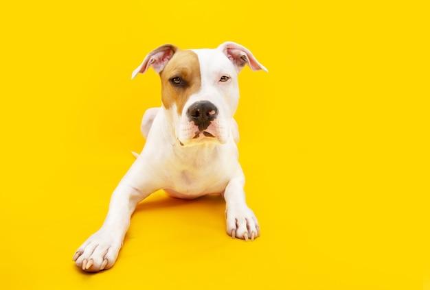 Портрет американской стаффордширской собаки лежа. изолированные на желтом фоне