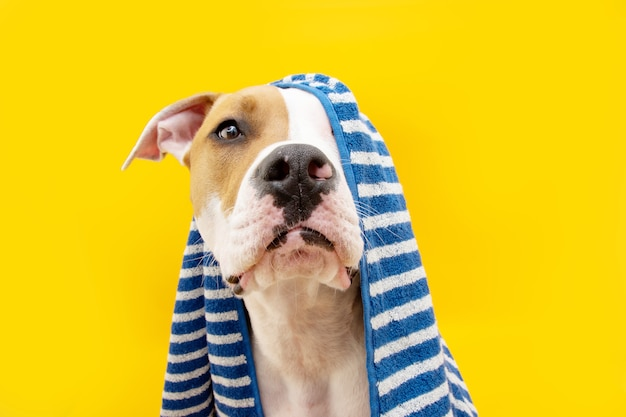 초상화 american staffordshire 개는 파란색 수건으로 싸인 샤워를 할 준비가 되어 있습니다. 노란색 표면에 동물입니다. 강아지 여름 시즌.