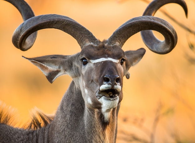 Portrait of antelope with beautiful horns