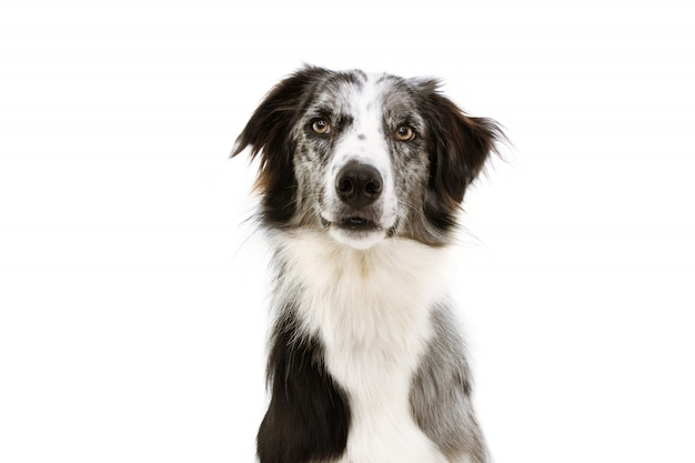 Portrait attentive blue merle border collie looking at camera isolated on white