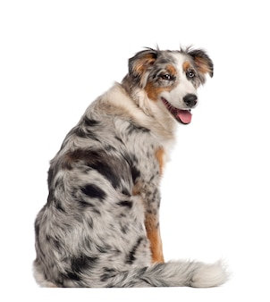 Portrait of australian shepherd, five and a half months old, sitting in front of white background