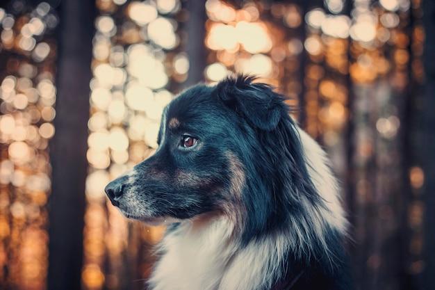 Portrait of australian shepherd