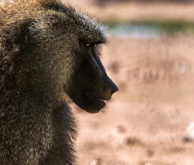 Portrait of baboon cynocephalus papion