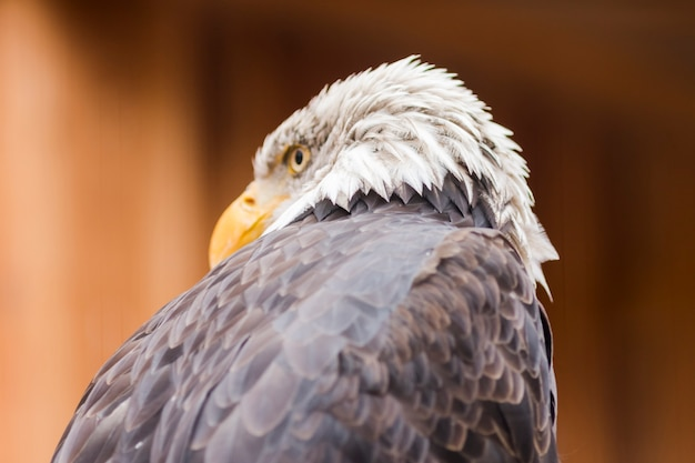 Portrait of a bald eagle (lat. haliaeetus leucocephalus)