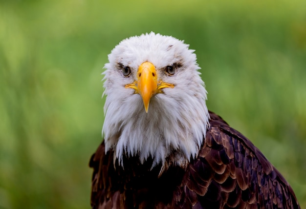 Portrait of a bald eagle in nature