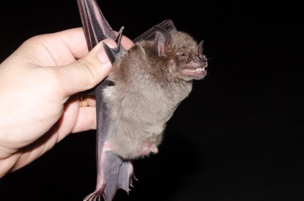Portrait of the bat fringed fruit-eating bat (artibeus fimbriatus)