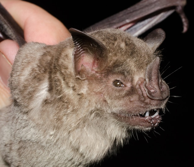 Portrait of the bat fringed fruit-eating bat (artibeus fimbriatus).