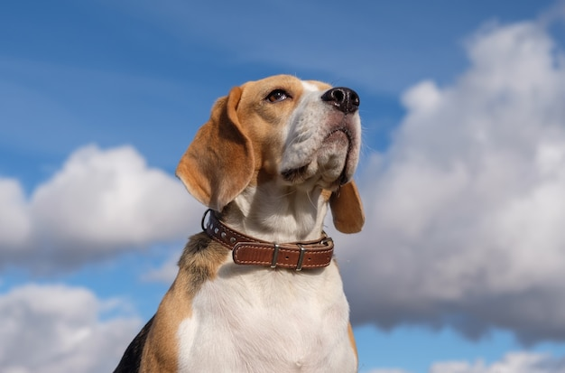 Portrait of a beagle dog over white clouds and blue sky