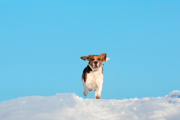 Portrait of a beagle dog in winter, sunny day