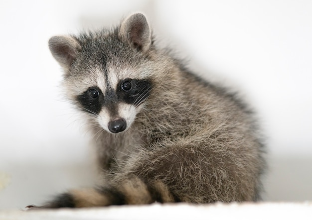 Portrait of beautiful adorable little baby racoon at home wild cute animal