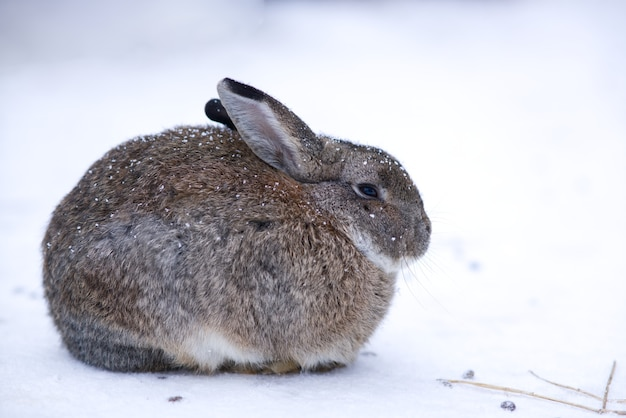 Portrait of beautiful animal rabbit or hare freezing from cold on a snow at a winter snowy day