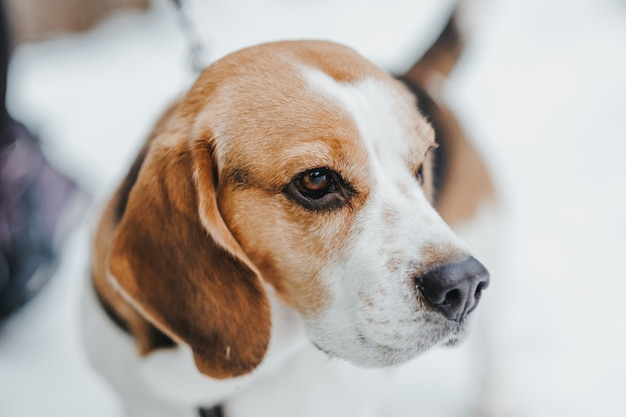 Portrait of a beautiful beagle dog in the winter forest