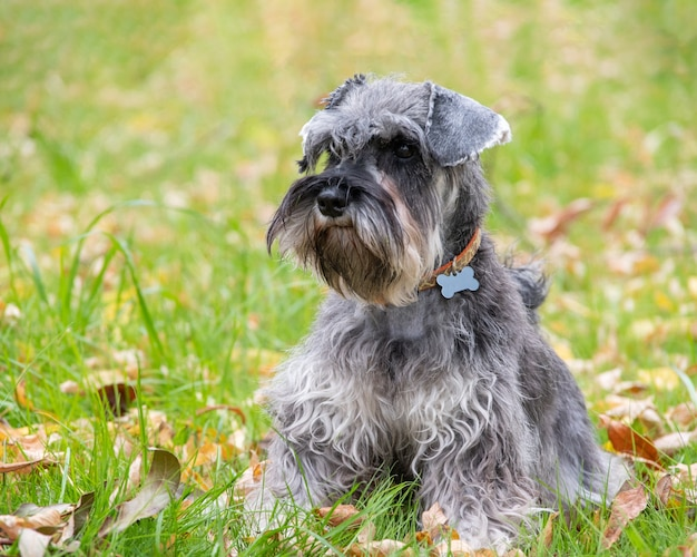 Portrait of a beautiful bearded gray miniature schnauzer dog sitting in the grass on the lawn, selective focus. dog in a collar with an empty bone address tag