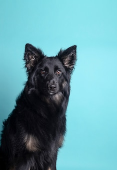 Portrait of beautiful black border collie looking towards camera on blue background
