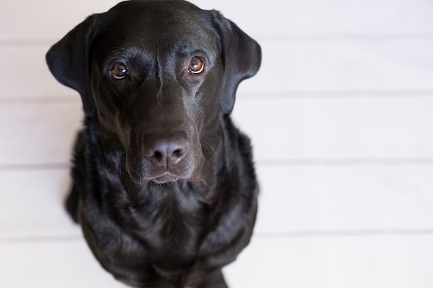 Portrait of a beautiful black labrador feeling happy and relaxed