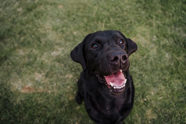 Portrait of beautiful black labrador sitting on the grass in a park