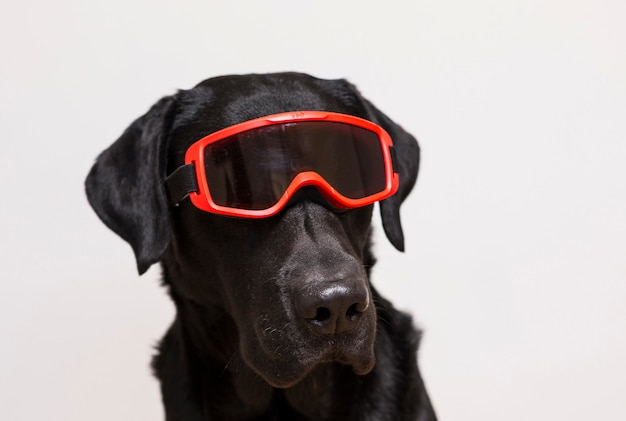 Portrait of a beautiful black labrador wearing red snow goggles