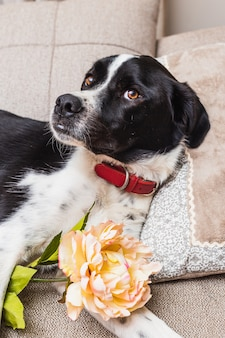 Portrait of a beautiful black and white dog wearing a flower in a neutral tones sofa