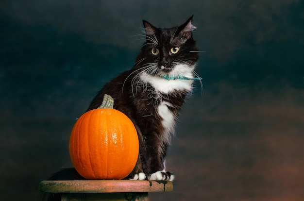Portrait of beautiful black and white kitten sitting with green collar next to pumpkin