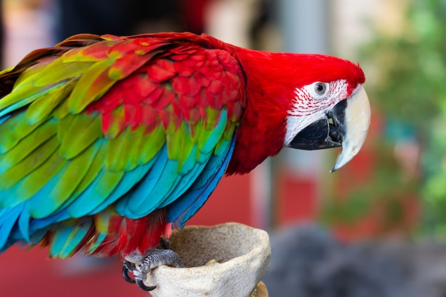 Portrait of a beautiful colorful ara scarlet macaw parrot close up.