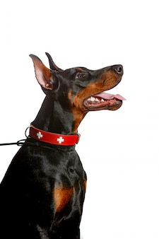 Portrait of a beautiful doberman pincher isolated