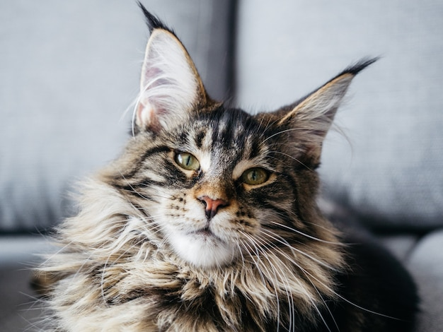 Portrait of beautiful, fluffy and gorgeous 7 month maine coon lying on gray sofa.
