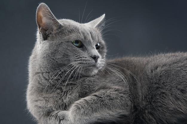 Portrait of a beautiful grey cat on grey