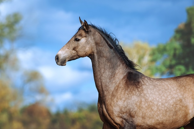 Portrait of a beautiful horse of akhal-teke breed against a bright blue sky