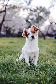 Portrait of beautiful jack russell dog in park at sunset. blossom and springtime