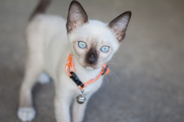 Portrait of a beautiful kitty siamese cat, beautiful cat at home. domestic animal