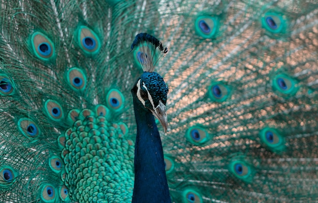 Portrait of beautiful peacock with feathers out (large and brightly bird).