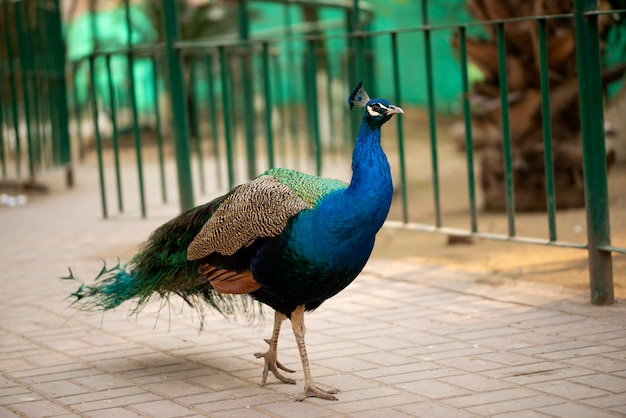 Portrait of beautiful peacock with feathers, peacock - peafowl posing for tourists islamabad zoo
