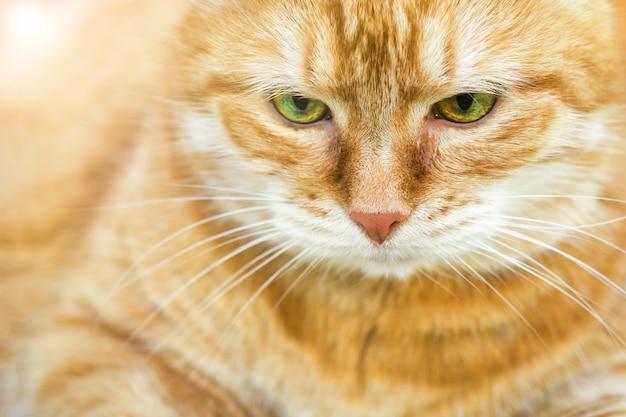 Portrait of beautiful red cat close up