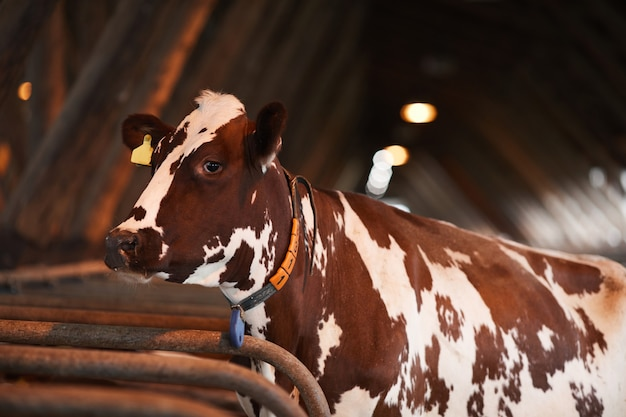 Portrait of beautiful spotted cow looking away while standing in cowshed at organic dairy farm, copy space