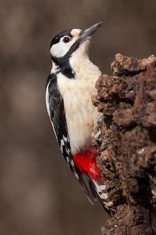 Ritratto di un bellissimo picchio in piedi su un tronco d'albero