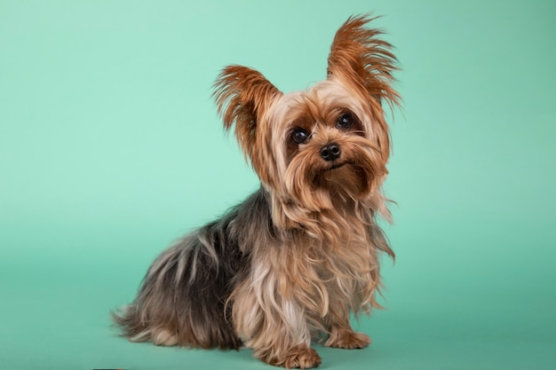Portrait of beautiful yorkshire terrier sitting in profile