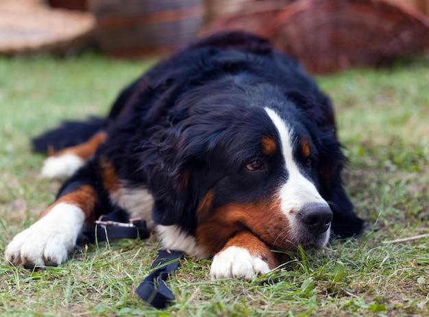 Portrait of bernese mountain dog lying on grass.