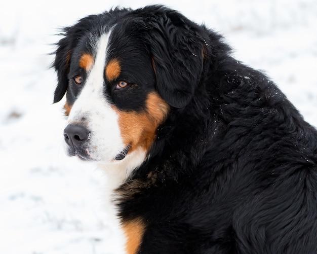 Portrait of bernese mountain dog in snowy winter