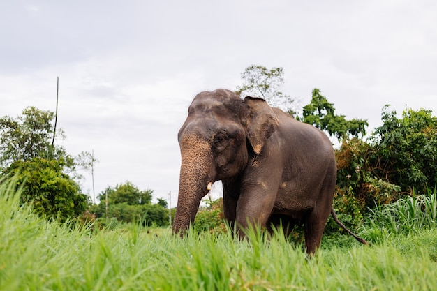 Portrait of beuatiful thai asian elephant stands on green field elephant with trimmed cutted tusks