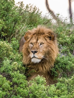 Portrait of the big male lion in the grass