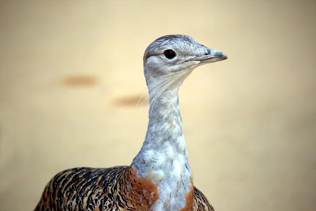 The portrait of bird bustard