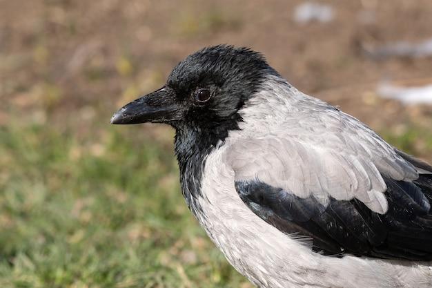 肖像画の鳥ズキンガラス、corvuscornixがクローズアップ。