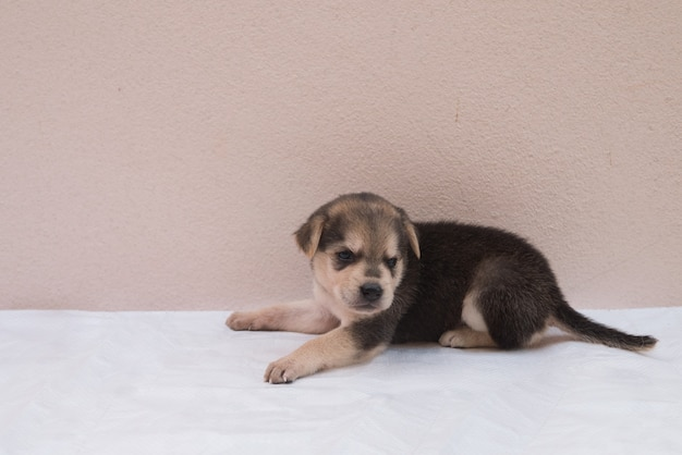 Portrait black, brown, white hybrid puppy dog is laying on white floor with copy space for lovely pet concept