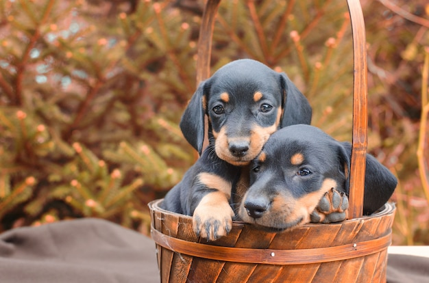 Portrait of black dachshund puppies