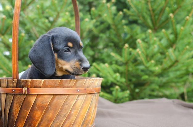 Portrait of black dachshund puppy