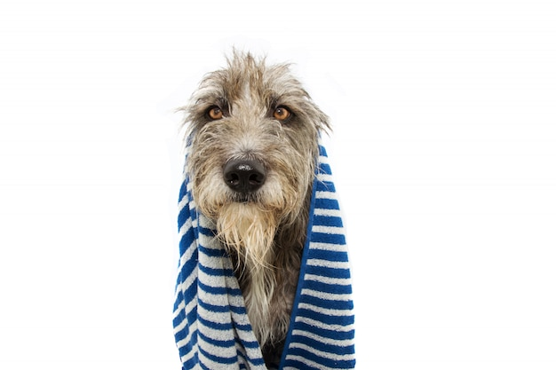 Portrait black dog wrapped with s blue striped towel ready for bathing, bath or take a shower.