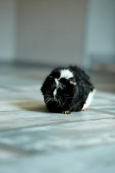Portrait of black guinea pig or cavy indoors.