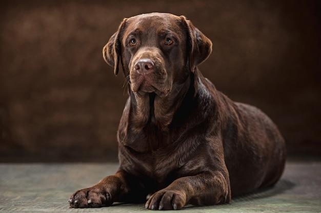 Portrait of a black labrador dog taken against a dark backdrop.