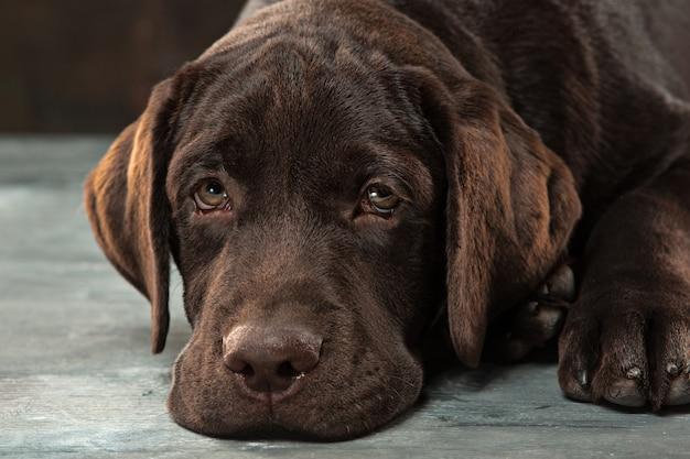 Il ritratto di un cane labrador nero preso su uno sfondo scuro.