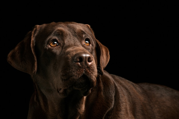 The portrait of a black labrador dog taken